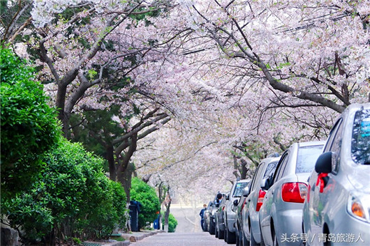 Cherry blossoms turn secluded path into attraction site