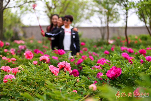 Blooming peonies attract tourists in Qingdao