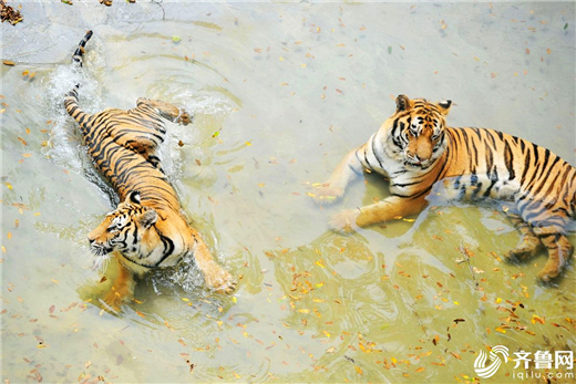 Qingdao zoo animals cool off in hot summer