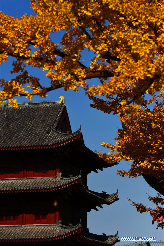 Gingko trees of over 1,300 years seen in Qingdao