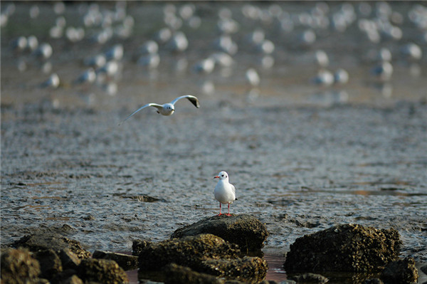 Black-headed gulls lighten up dull wintry scene in Qingdao