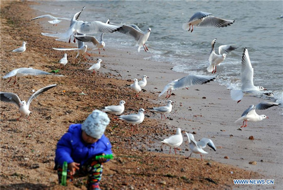 Sea gulls fly to East China's Qingdao to spend winter