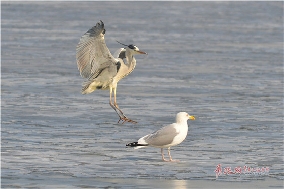 Flocks of migrant birds seen in Qingdao Jiaozhou Bay