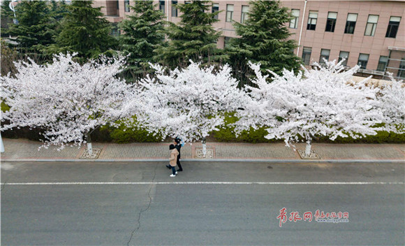 Fantastic aerial view of cherry blossoms at Ocean University of China