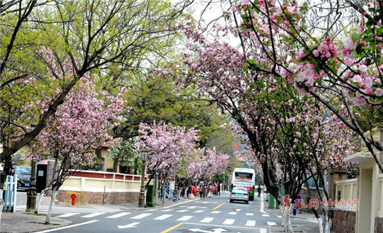 Stunning flowering Chinese crabapples dazzle Qingdao