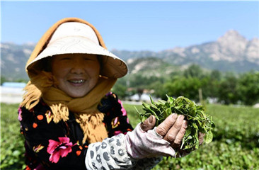 Farmers pick tea leaves in Qingdao, China's Shandong